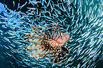 Lionfish, Pterois volitans, hunts schooling baitfish under the Arborek jetty, Dampier Strait, Raja Ampat, Indonesia, Pacific Ocean