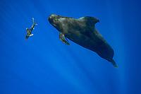 an oceanic whitetip shark, Carcharhinus longimanus, swims past a short-finned pilot whale, Globicephala macrorhynchus, north Kona Coast, Hawaii, U.S.A. ( Central Pacific Ocean )