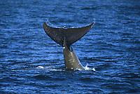Baird's Beaked Whale, Berardius Bairdii, tail slap or fluke slap, Monterey, California, USA, East Pacific ocean, USA, National marine sancuary,