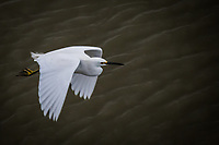 A Snowy egret, its yellow feet covered in mud, flies along the shoreline at the San Leandro Marina on San Francisco Bay.