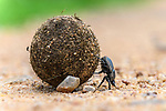Adult dung beetle {Family Scarabaeidae, subfamily Scarabaeinae) rolling dung ball. South Luangwa National Park, Zambia.