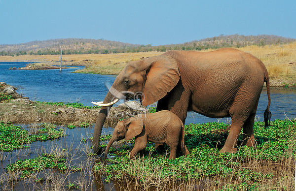 African elephant (Loxodonta africana) cow with young calf drinking from Lake Kariba.  Matusadona National Park, Zimbabwe.  Calf learns by imitating its mom.  (See also image # 3ME251).