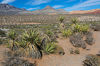 Red Rock Canyon, Nevada.  Mojave Yucca (Yucca Schidigera).  Red Rock Wash in middle ground.  Keystone Thrust in background, showing La Madre Mountain and Turtlehead Peak.  Calico Hills on right.