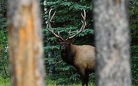 Bull elk at Jasper National Park Alberta Canada