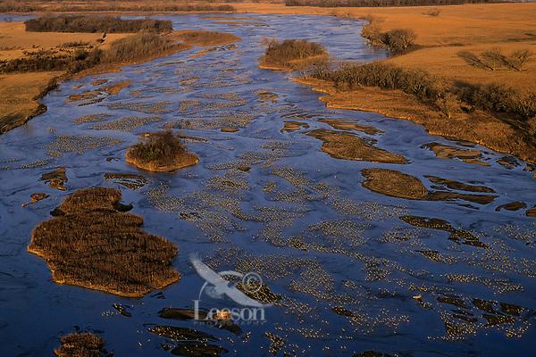 Sandhill Cranes (Grus canadensis) roosting along Platte River in early morning.  Nebraska.  Spring migration, March.