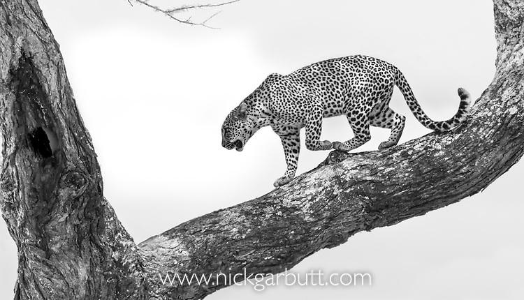 Male Leopard (Panthera pardus) in an Acacia tree. Serengeti National Park, Tanzania.