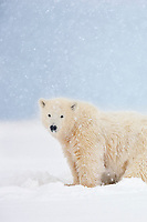 Polar bear cub of the year in falling snow, Arctic, Alaska