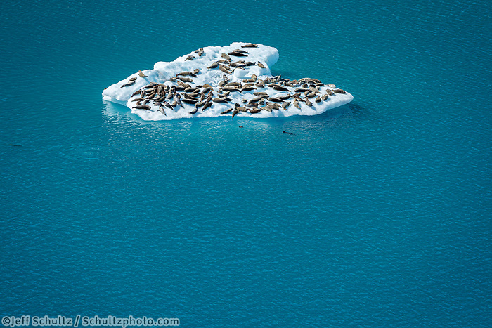Summer landscape aerial photo of a pack of harbor seals on ice berg at Bear Glacier Lagoon in Kenai Fjords National Park.  Kenai Penninsula, Summer, Alaska   <br /> <br /> Photo by Jeff Schultz/  (C) 2019  ALL RIGHTS RESERVED