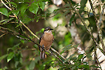 Female Victoria's Riflebird (Ptiloris victoriae) perched on a branch