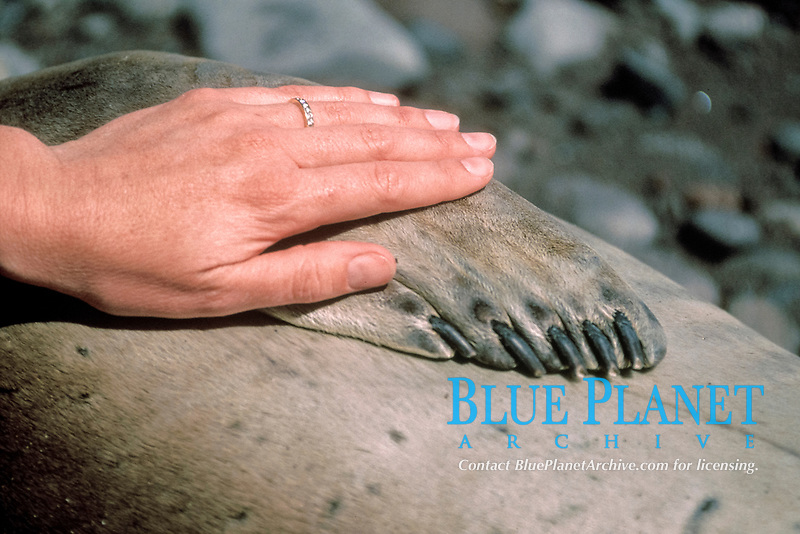 human hand and northern elephant seal, Mirounga angustirostris, Guadalpue Island, Mexico, Pacific Ocean