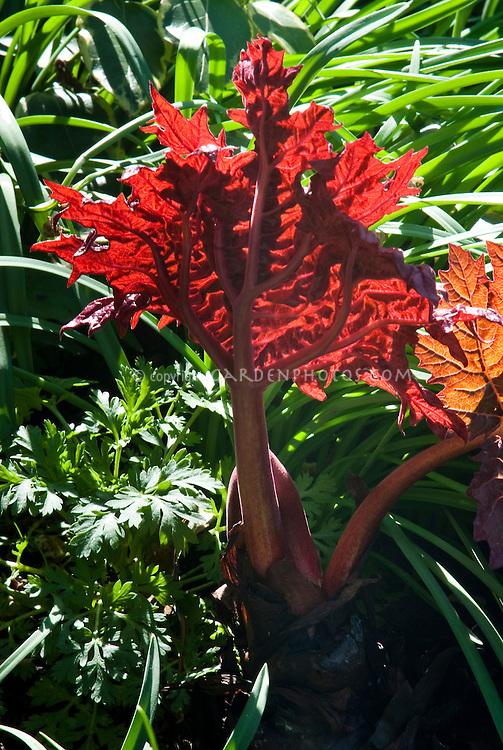 Rheum palmatum 'Atrosanguineum' in spring