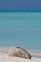 Hawaiian monk seal, Neomonachus schauinslandi, Critically Endangered endemic species, resting on beach, Sand Island, Midway, Atoll, Midway Atoll National Wildlife Refuge, Papahanaumokuakea Marine National Monument, Northwest Hawaiian Islands ( Central North Pacific Ocean )