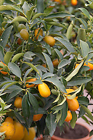 oval Kumquats Fortunella citrus fruits growing on potted tree