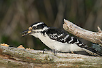 Hairy woodpecker - female
