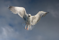 On the Wings of the Angels<br /> Herring gull at Lauvsnes, Norway