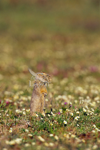 Arctic Ground Squirrel (Spermophilus parryii) with mouthful of bedding material it will place in den.  Arctic National Wildlife Refuge, Alaska.  July.