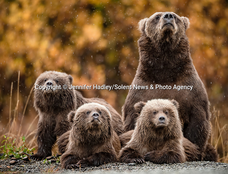 MAIN IMAGE:  A family of grizzly bears look to the heavens as it begins to rain.  The mother and her three young cubs appear to look solemnly at the sky in anticipation of the downpour which set in for the rest of the day.<br /> <br /> Photos also show the protective mother fishing in a lake to feed the family and warning off larger bears when they entered her families' vicinity.  Wildlife photographer Jennifer Hadley captured pictures of the group at Crescent Lake, on the southern coast of Alaska.  SEE OUR COPY FOR DETAILS.<br /> <br /> Please byline: Jennifer Hadley/Solent News<br /> <br /> © Jennifer Hadley/Solent News & Photo Agency<br /> UK +44 (0) 2380 458800