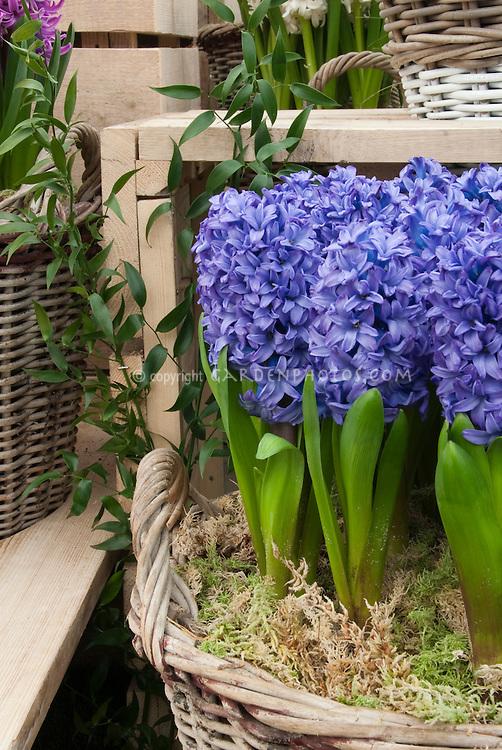 Forcing Bulbs: Hyacinthus orientalis minor in basket indoors bloom