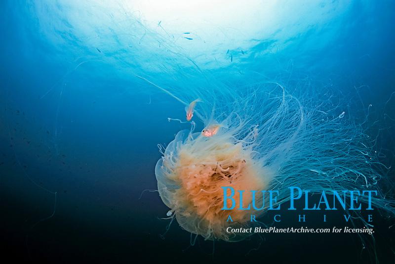 ghost jellyfish, Cyanea nozaki, Kishinouye, Futo, Sagami bay, Izu peninsula, Shizuoka, Japan, Pacific Ocean