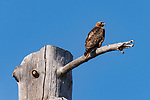 Stonewall Peak, Cuyamaca Rancho State Park, California; a Red-tailed Hawk perched on the top branch of a dead tree against a blue sky in early morning sunlight