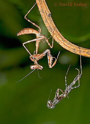 """0215-07xx  Budwing Mantis """"Nymph"""" with Molt - Parasphendale agrionina """"Nymph"""" © David Kuhn/Dwight Kuhn Photography"""