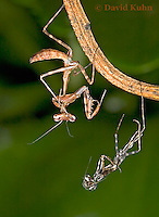 "0215-07xx  Budwing Mantis ""Nymph"" with Molt - Parasphendale agrionina ""Nymph"" © David Kuhn/Dwight Kuhn Photography"