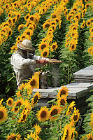 An apiculturist shakes a frame to check the amount of nectar collected by the bees during their days on a sunflower field. Droplets of nectar falls off the frame, a sign there will be a lot of honey.
