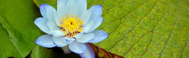 Nymphaea Gigantea blossom. Hughes Water gardens. Oregon