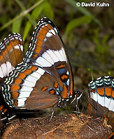 """0704-0803  White Admiral Butterfly """"Drinking Moisture from Animal Feces"""", Limenitis arthemis """"Northeast United States Form""""  © David Kuhn/Dwight Kuhn Photography"""