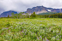 Spring Wildflowers along the East end of Going to the Sun Road, Glacier National Park, Wyoming