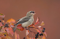 Cedar Waxwing, Bombycilla cedrorum, young on hawthorn with fallcolors eating berry, Grand Teton NP,Wyoming, September 2005