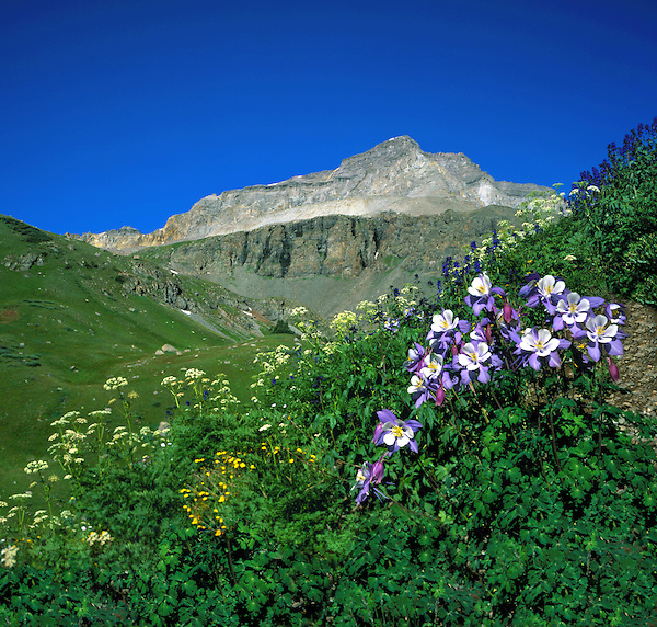 Columbine wildflowers and Mount Gilpin in Yankee Boy Basin, Ouray, Colorado, USA. John guides custom photo tours in the Sneffels Range and throughout Colorado.