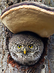 Owl sticks its head out of tree through fungi doorflap by Johnny Salomonsson