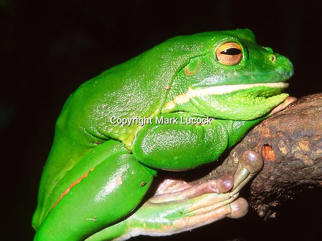 White Lipped Tree Frog-Litoria infrafrenata, Australia