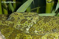 0430-1107  Mang Mountain Pit Viper (China Mangshan Pitviper), Detail of Head, Only Non Cobra that Can Spit Venom, Zhaoermia mangshanensis (syn. Trimeresurus mangshanensis)  © David Kuhn/Dwight Kuhn Photography