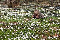 Kind, Junge liegt im Wald zwischen Busch-Windröschen, Buschwindröschen, Busch - Windröschen und fotografiert diese, Anemone nemorosa, Wind Flower, Wood Anemone, Frühjahrsblüher