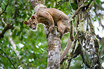 Male fosa (Cryptoprocta ferox) (sometimes incorrectly Fossa) climbing down trunk from forest canopy. Mid-alitude rainforest, Andasibe-Mantadia National Park, eastern Madagascar. IUCN Endangered.