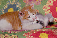 """Brother tiger kitten has sister in """"relaxed pin"""" after match on home made quilt"""