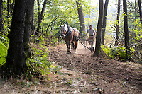 Heavy horse loggers are leading a resurgence of the 10,000 year old tradition.