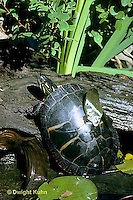 1R13-010z  Painted Turtle - climbing out of pond - Chrysemys picta