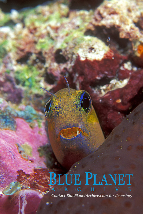 Ecsenius midas, Blennies, Blenniidae, small long elongate Bottom dweller small reef fish, Tropical ocean coral reef, bottom dweller, Indo Pacific Ocean,