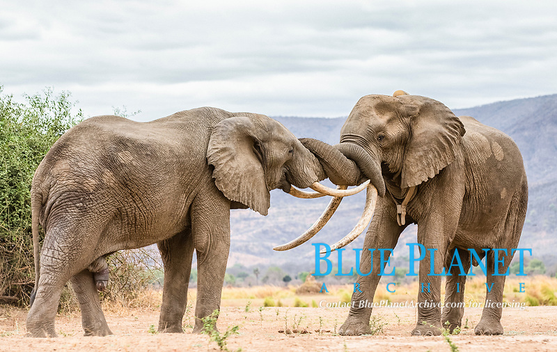 African bush elephant, African savanna elephant, Loxodonta africana, male, sparring, Mana Pools National Park, Zimbabwe