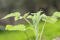 Wilde Himbeere, junge, zarte Blätter vor der Blüte, Rubus idaeus, Raspberry, Rasp-berry