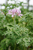 Pelargonium 'Grey Lady Plymouth'