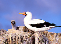 A juvenal Masked Booby with parent.