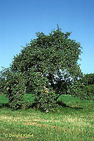 AT12-006b  Apple Tree - developing fruit in summer
