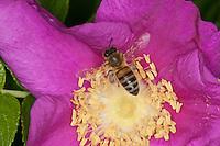 Honigbiene, Honig-Biene, Biene, Apis mellifera, Apis mellifica, Blütenbesuch auf Kartoffelrose, Runzelrose, Nektarsuche, Blütenbestäubung, Pollenhöschen, honey bee, hive bee