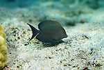 Moorea, French Polynesia; Lined Bristletooth (Ctenochaetus striatus), solitary or form groups, one of the most abundant reef fish, found in lagoon and seaward reefs to 35 meters, in the Indo-Pacific Ocean region, E. Africa to Indonesia, Micronesia and French Polynesia. S.W. Japan to Great Barrier Reef, to 26 cm , Copyright © Matthew Meier, matthewmeierphoto.com All Rights Reserved