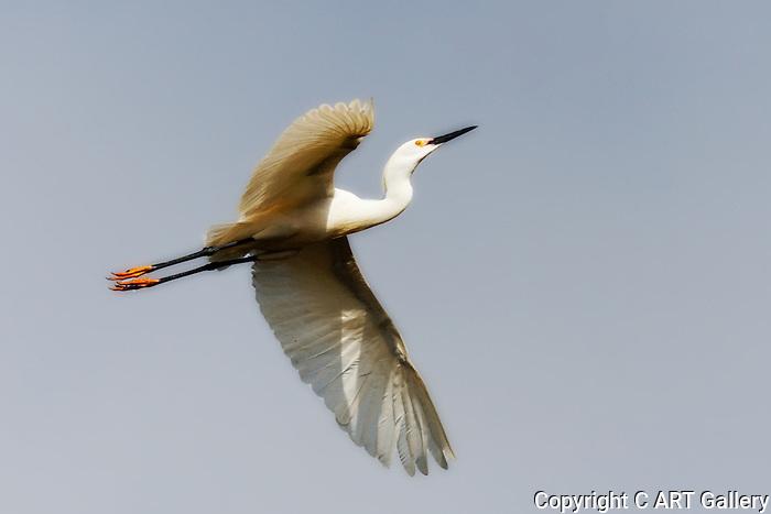 Egret overhead, Upper Newport Bay, CA.