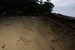 Jaguar (Panthera onca) tracks on beach, Coastal Jaguar Conservation Project, Tortuguero National Park, Costa Rica